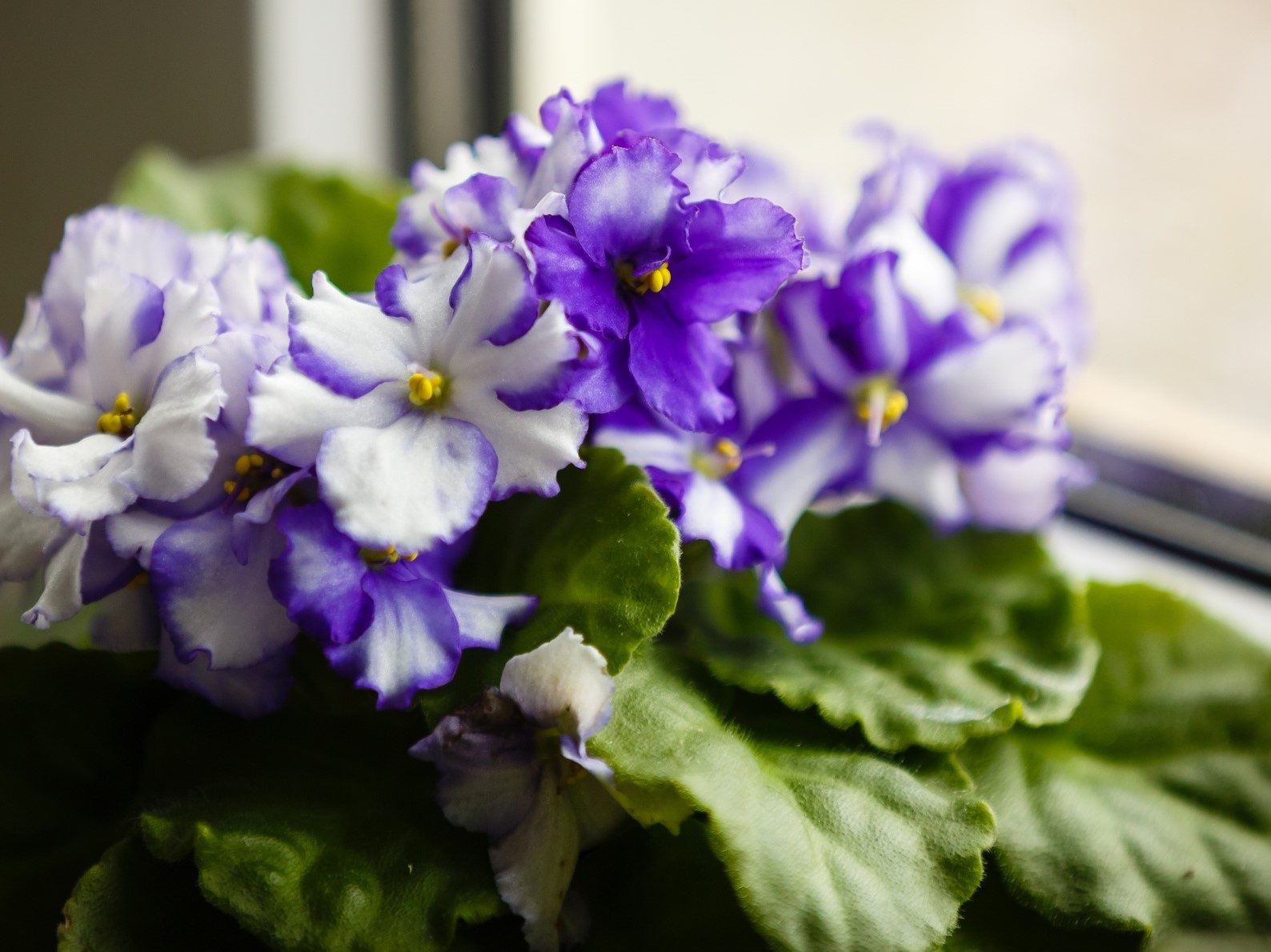 African Violet, Greenhouse, Istock