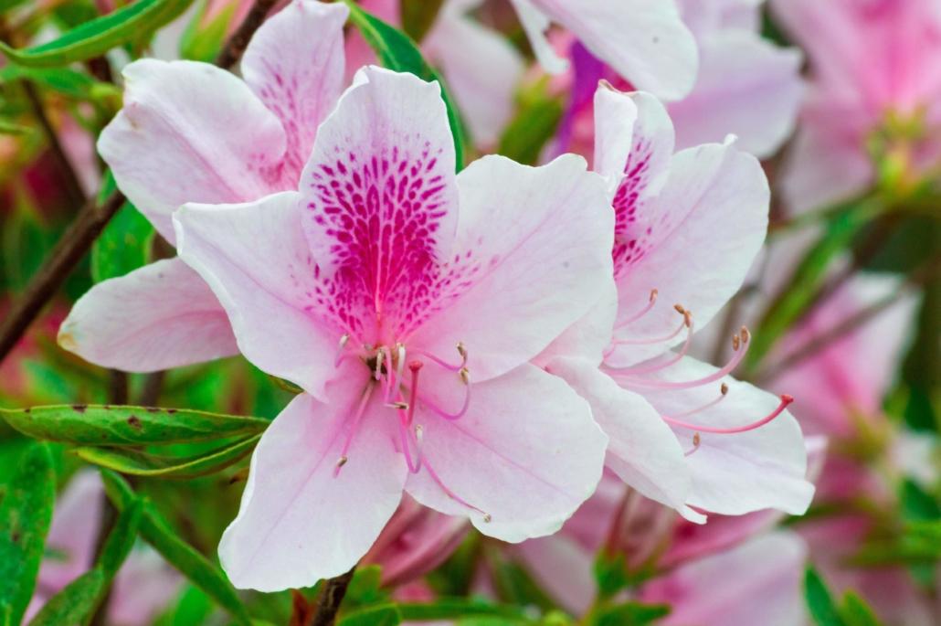 White and Pink Azalea, Shrub