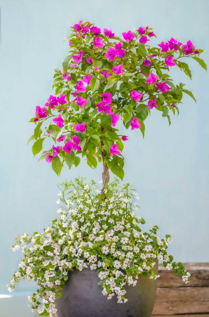 Summer Container with Bougainvillea, Bacopa and Lobelia