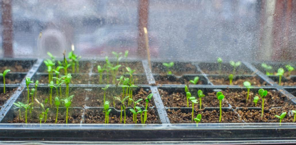 Seed Starting Seedings indoors in witner