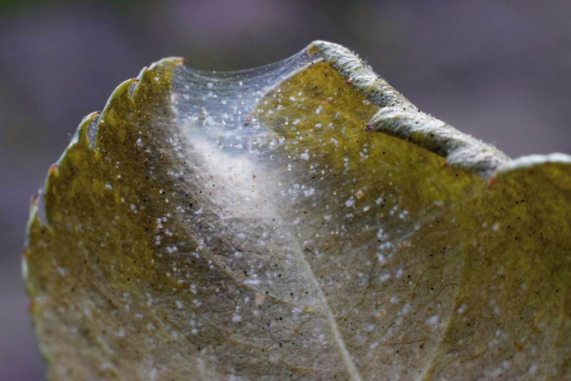 Spider Mite Colony