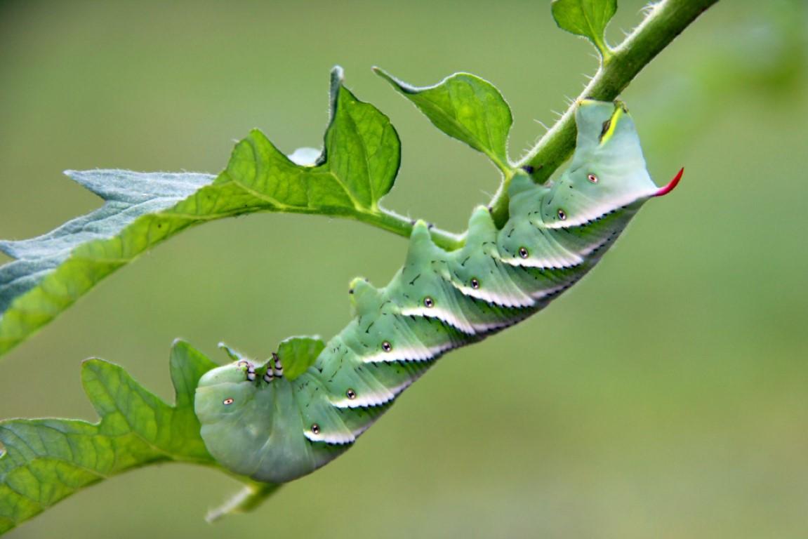 Tomato Hornworm, Pest
