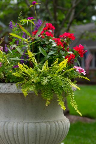 Fern, Geranium and Gomphrena, Container Garden