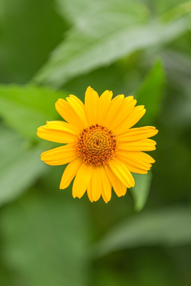 Heliopsis, Annual