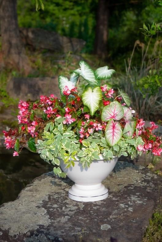 Shade Container Garden with Bishopweed, Caladium, Begonia