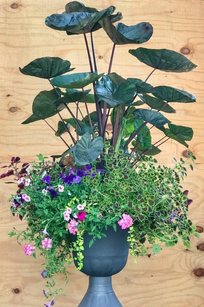 Tropical Container with Coleus, Elephant Ears, Calibrachoa and Verbena