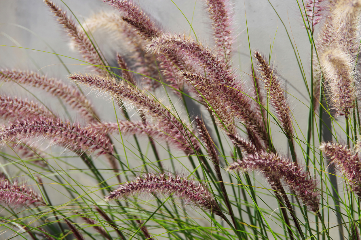 Pennisetum, Perennial Ornamental Grass